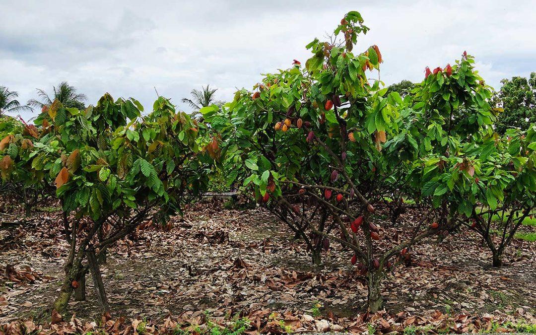 Inmet firma a primeira apólice do Seguro Paramétrico para produção de cacau no sul da Bahia